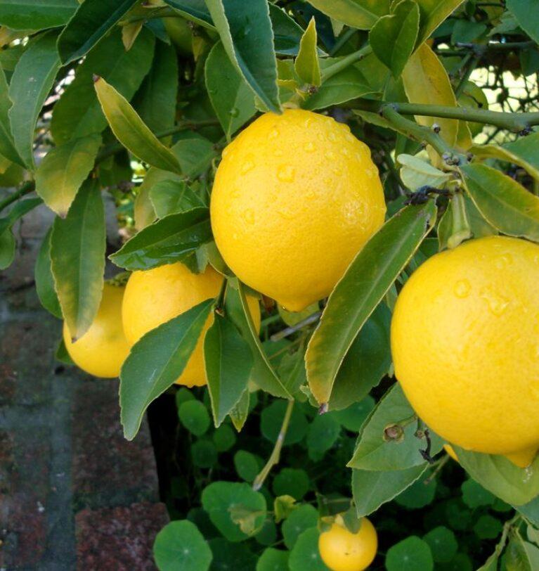 Fertilizarea lămâiului