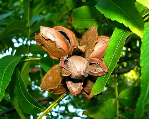 Nucul Pecan (Carya Illinoinensis)