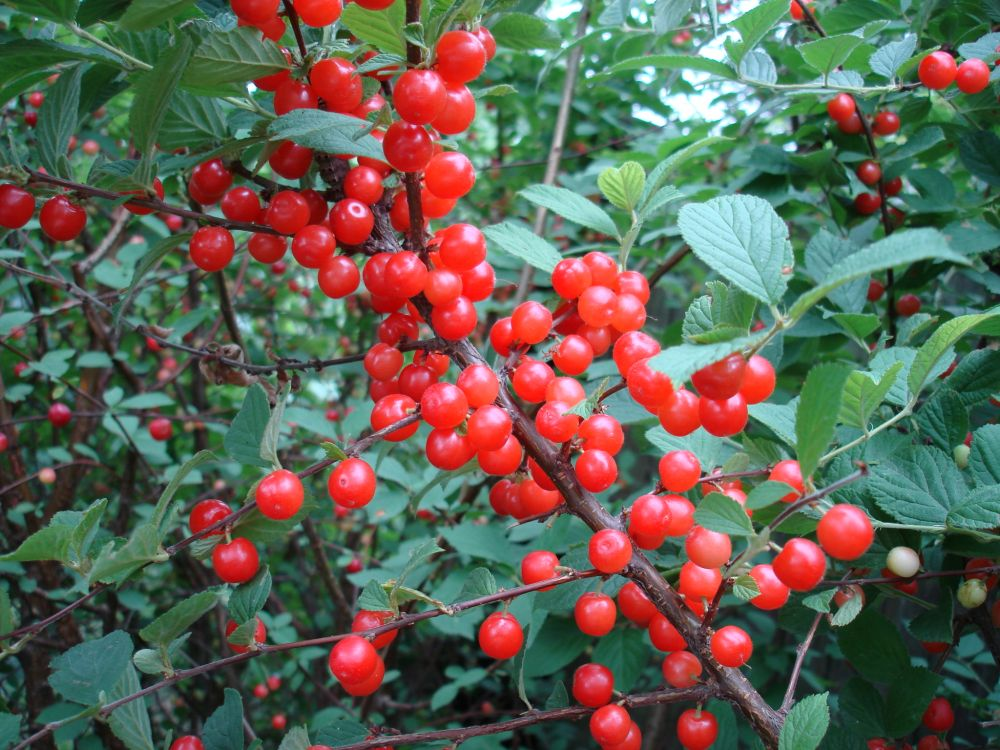Cires Naking (Prunus Tomentosa)