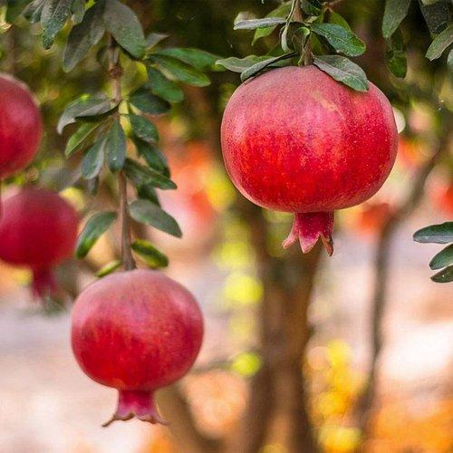 Rodiu fructifer Parfianca (Punica Granatum)