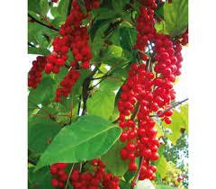 Schinsandra chinensis – Fructul cu cinci arome