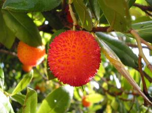 Arbutus Unedo – Arborele de caspsun